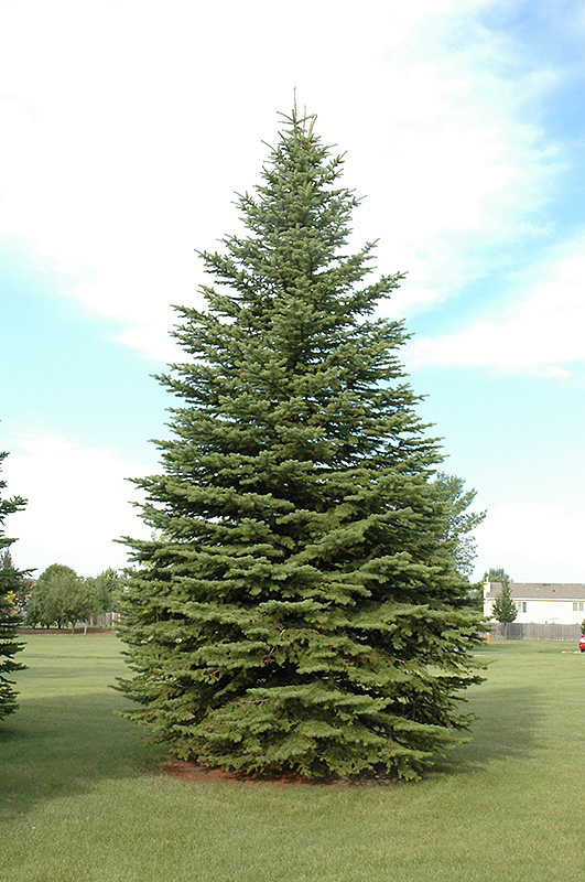 Colorado Spruce (Picea pungens) at The Family Tree Garden Center