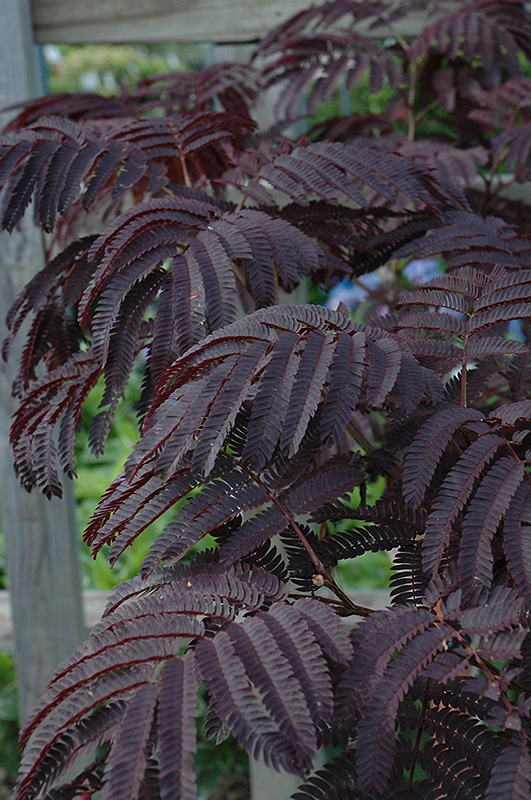 Summer Chocolate Mimosa (Albizia julibrissin 'Summer Chocolate') at The Family Tree Garden Center