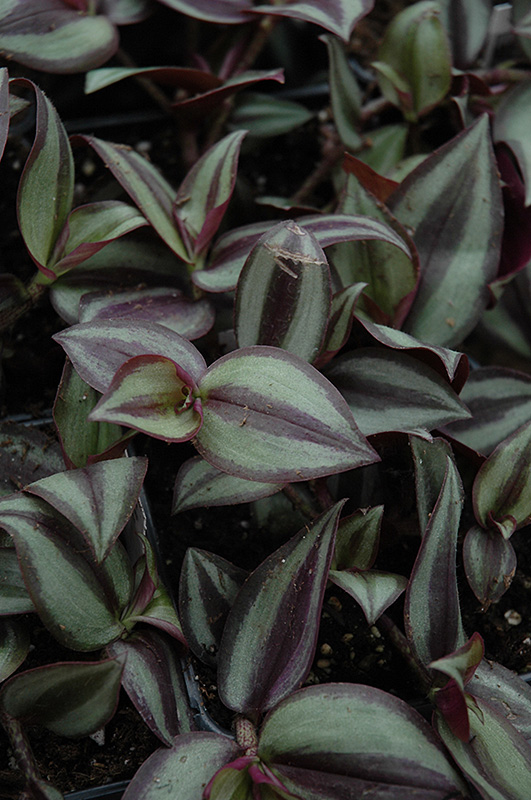 Wandering Jew (Zebrina pendula) at The Family Tree Garden Center