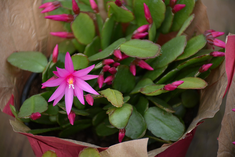 Cerise Easter Cactus (Hatiora gaertneri 'Cerise') at The Family Tree Garden Center