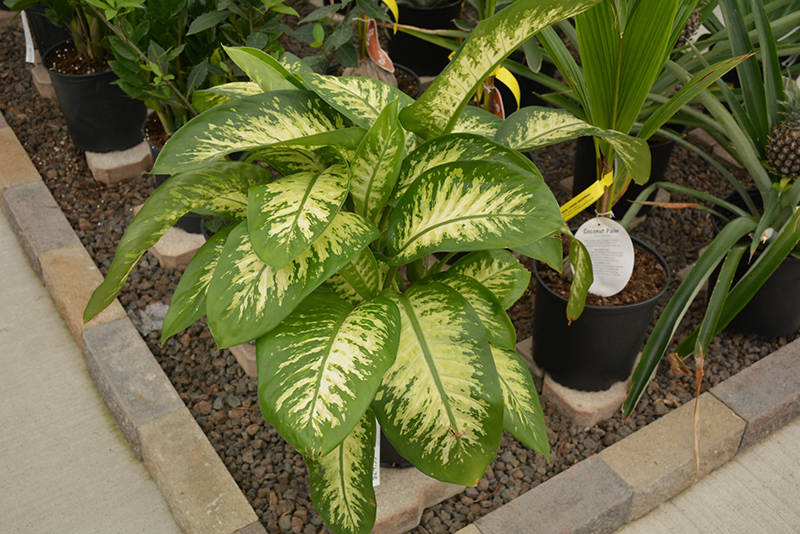 Dumb Cane (Dieffenbachia amoena) at The Family Tree Garden Center