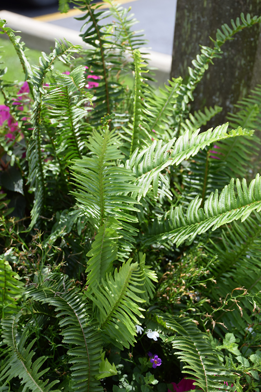 Kimberly Queen Australian Sword Fern (Nephrolepis obliterata 'Kimberly Queen') at The Family Tree Garden Center