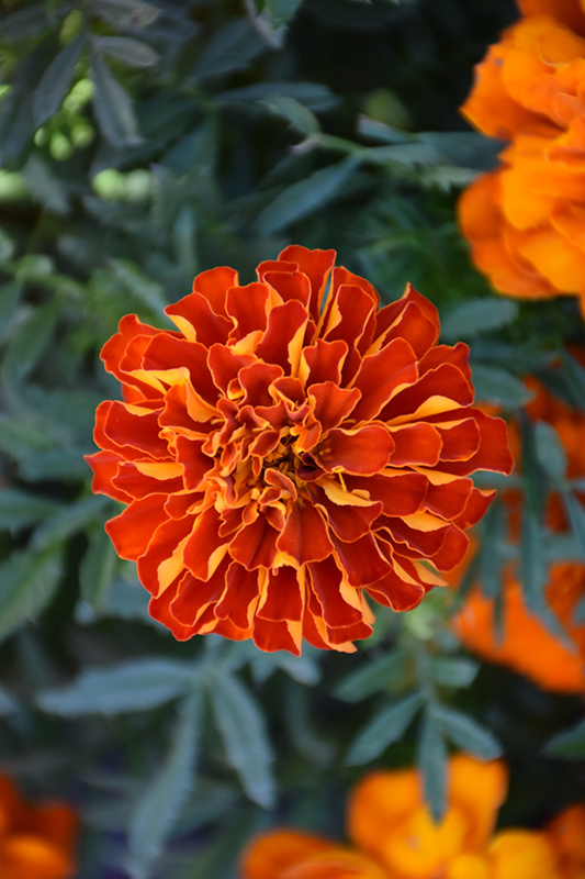 Durango Red Marigold (Tagetes patula 'Durango Red') at The Family Tree Garden Center
