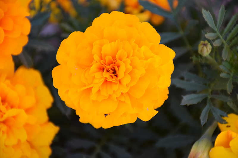 Durango Gold Marigold (Tagetes patula 'Durango Gold') at The Family Tree Garden Center