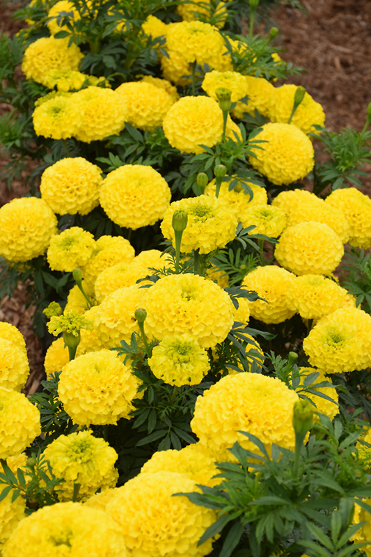 Marvel Yellow Marigold (Tagetes erecta 'Marvel Yellow') at The Family Tree Garden Center