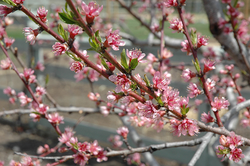 Redhaven Peach (Prunus persica 'Redhaven') at The Family Tree Garden Center