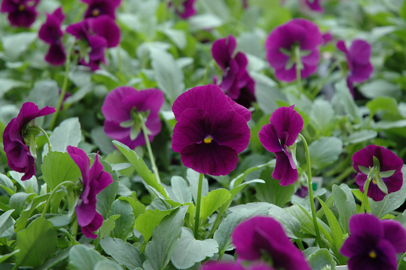 Cool Wave Purple Pansy (Viola x wittrockiana 'PAS1077343') at The Family Tree Garden Center