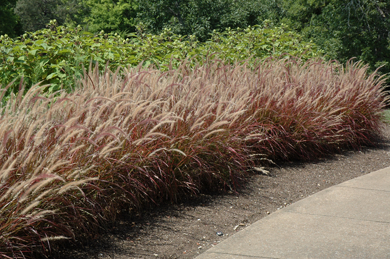 Purple Fountain Grass (Pennisetum setaceum 'Rubrum') at The Family Tree Garden Center