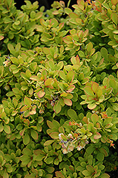 Sunsation Japanese Barberry (Berberis thunbergii 'Sunsation') at The Family Tree Garden Center