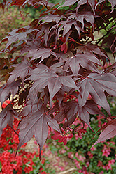 Bloodgood Japanese Maple (Acer palmatum 'Bloodgood') at The Family Tree Garden Center