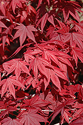 Emperor I Japanese Maple (Acer palmatum 'Wolff') at The Family Tree Garden Center