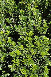 Baby Gem™ Boxwood (Buxus microphylla 'Gregem') at The Family Tree Garden Center