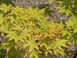 Coral Bark Japanese Maple (Acer palmatum 'Sango Kaku') at The Family Tree Garden Center