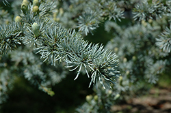 Blue Atlas Cedar (Cedrus atlantica 'Glauca') at The Family Tree Garden Center