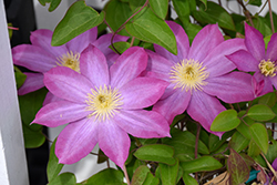 Pink Champagne Clematis (Clematis 'Pink Champagne') at The Family Tree Garden Center