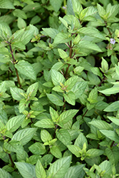 Chocolate Mint (Mentha x piperita 'Chocolate') at The Family Tree Garden Center