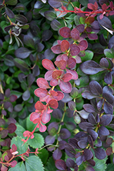 Lava Nugget™ Barberry (Berberis thunbergii 'Martha') at The Family Tree Garden Center